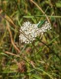 Anthaxia在共同的欧蓍草植物的hungarica甲虫 免版税库存照片