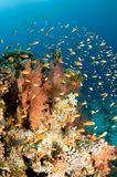 Anthea fish on soft coral reef Royalty Free Stock Image