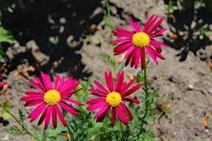 Anthemis λουλουδιών Στοκ Εικόνα