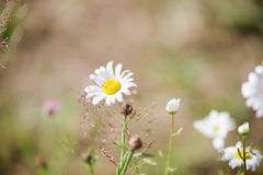 Anthemis photographie stock