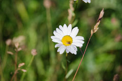 Anthemis photo stock