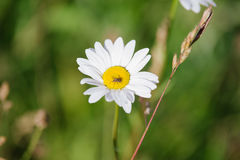 Anthemis photos libres de droits