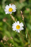 Anthemis images libres de droits