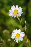 Anthemis photographie stock libre de droits