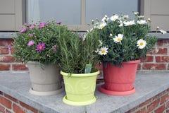 Anthemis en rozemarijn in potten Stock Fotografie