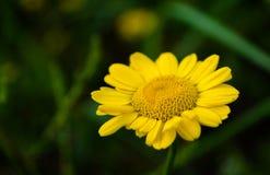 Yellow Anthemis Flower Royalty Free Stock Photos