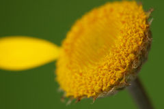 Anthemis tinctoria-Camomile-Kamille Στοκ φωτογραφία με δικαίωμα ελεύθερης χρήσης