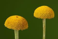 Anthemis tinctoria-Camomile-Kamille Στοκ Εικόνες