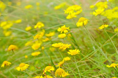 Anthemis tinctoria flowers on meadow Stock Photo