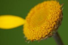 Anthemis tinctoria-kamille-Kamille Royalty-vrije Stock Fotografie