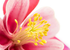 Anther of blossom from Aquilegia flower Royalty Free Stock Photo