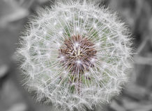 Anther dandelion Obrazy Royalty Free