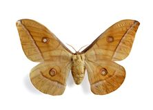 Antheraea pernyi Royalty Free Stock Image
