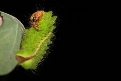 Antheraea pernyi caterpillar Stock Photos