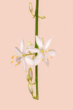 Anthericum liliago Royalty Free Stock Images