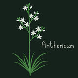 Anthericum plant iilustration Royalty Free Stock Photography