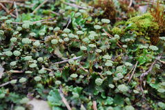 Antheridiophore (male gametophyte) of Marchantia polymorpha. stock photo
