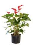 Antherium floreciente en conserva aislado en blanco Fotografía de archivo