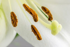 Anthers, pistil ,stigma and style of a white lily Royalty Free Stock Images