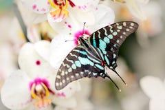 Antheus Graphium πεταλούδων, μεγάλο ριγωτό swordtail, που κάθεται στην άσπρη ορχιδέα Όμορφο έντομο από το τροπικό δάσος στην Ουγκ Στοκ Φωτογραφία