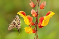 Antheus Graphium πεταλούδων, μεγάλο ριγωτό swordtail, που κάθεται στο κόκκινο κίτρινο λουλούδι Όμορφο έντομο από το τροπικό δάσος Στοκ Φωτογραφία