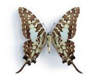 Antheus van Graphium (Grote Gestreepte Swordtail) Royalty-vrije Stock Afbeelding