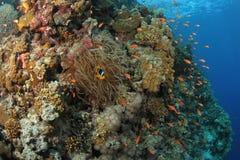 Anthias在热带珊瑚礁的Clownfish 免版税库存照片