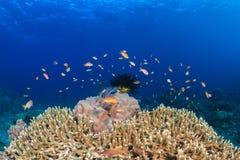 Anthias και ψάρια γύρω από ένα σκληρό κοράλλι με το μπλε νερό Στοκ φωτογραφίες με δικαίωμα ελεύθερης χρήσης