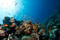 anthias Оман Стоковые Фото