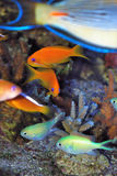 Anthias Stockfotos