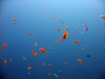 Anthias. Shot in the Red Sea royalty free stock photo
