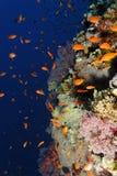 与anthias的礁石墙壁-红海 库存图片