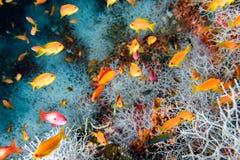 Anthias anaranjados rojos mientras que Maldivas que se zambullen foto de archivo