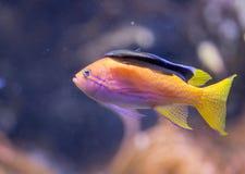 Anthias and Cleaner Wrasse fish at Shedd Aquarium Royalty Free Stock Image