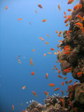 Anthias and coral. Shot in the Red Sea royalty free stock images
