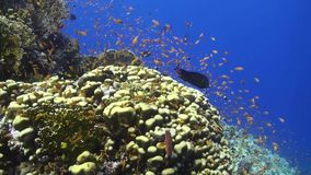 Anthias at a coral reef in the Red Sea stock video