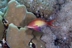 Anthias de Lyretail no Mar Vermelho. Fotografia de Stock Royalty Free