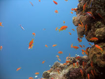 Anthias e coral foto de stock