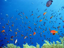 Anthias ed altri pesci Fotografie Stock