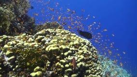Anthias em um recife de corais no Mar Vermelho video estoque