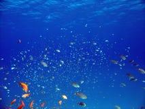 Anthias en andere vissen Royalty-vrije Stock Foto's