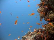 Anthias en koraal Stock Foto