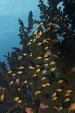 Anthias-Fische in schwarzer Coral Forest, Balicasag-Insel, Bohol, Philippinen Lizenzfreies Stockbild