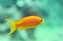Anthias fish. Orange Anthias fish in a blue sky royalty free stock photos
