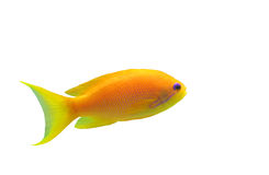 Anthias fish. Orange Anthias fish on a white background royalty free stock image