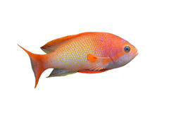 Anthias fish. Orange Anthias fish in front of white background stock image