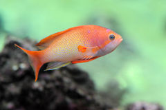 Anthias fish. Orange Anthias fish in a natural background stock images