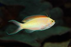 Anthias fish. Underwater view of a colorful Anthias fish (Pseudanthias spp stock image