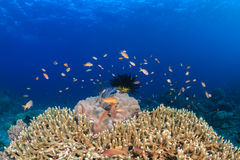 Anthias and fish around a hard coral with blue water Royalty Free Stock Photos