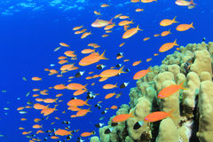 Anthias Fish and Hard Corals Stock Photography